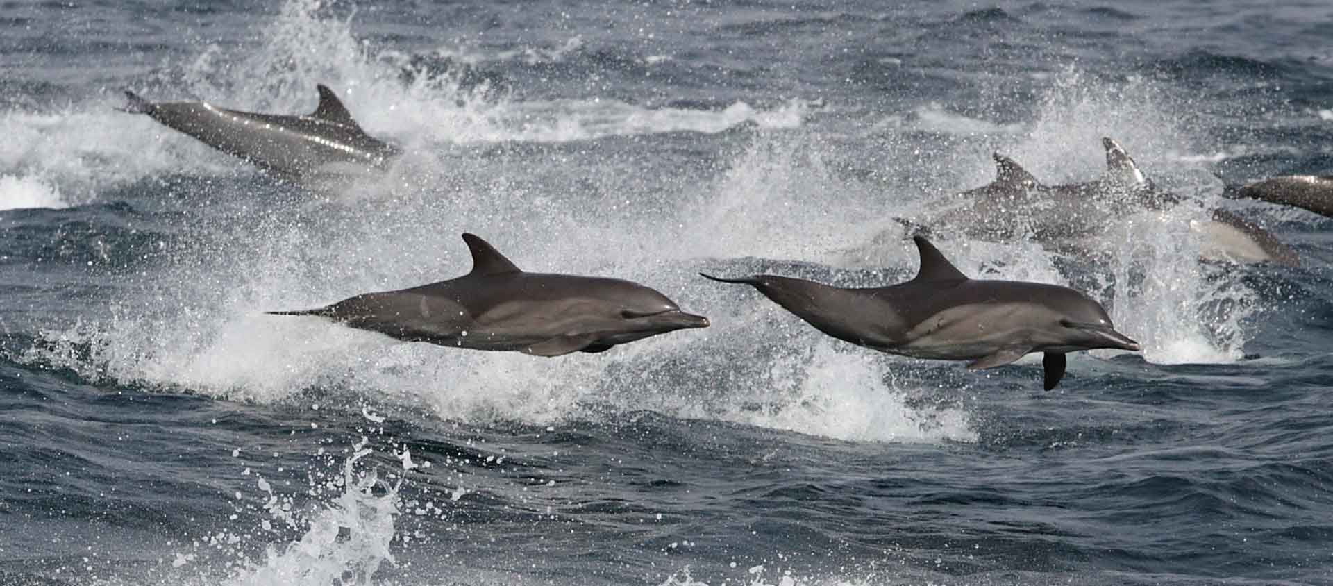 West Coast of Africa cruise slide showing Common Dolphins leaping