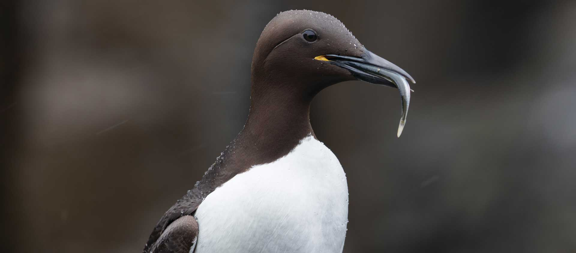 Cruise to British Isles and Norway portrait of a Common Guillemot