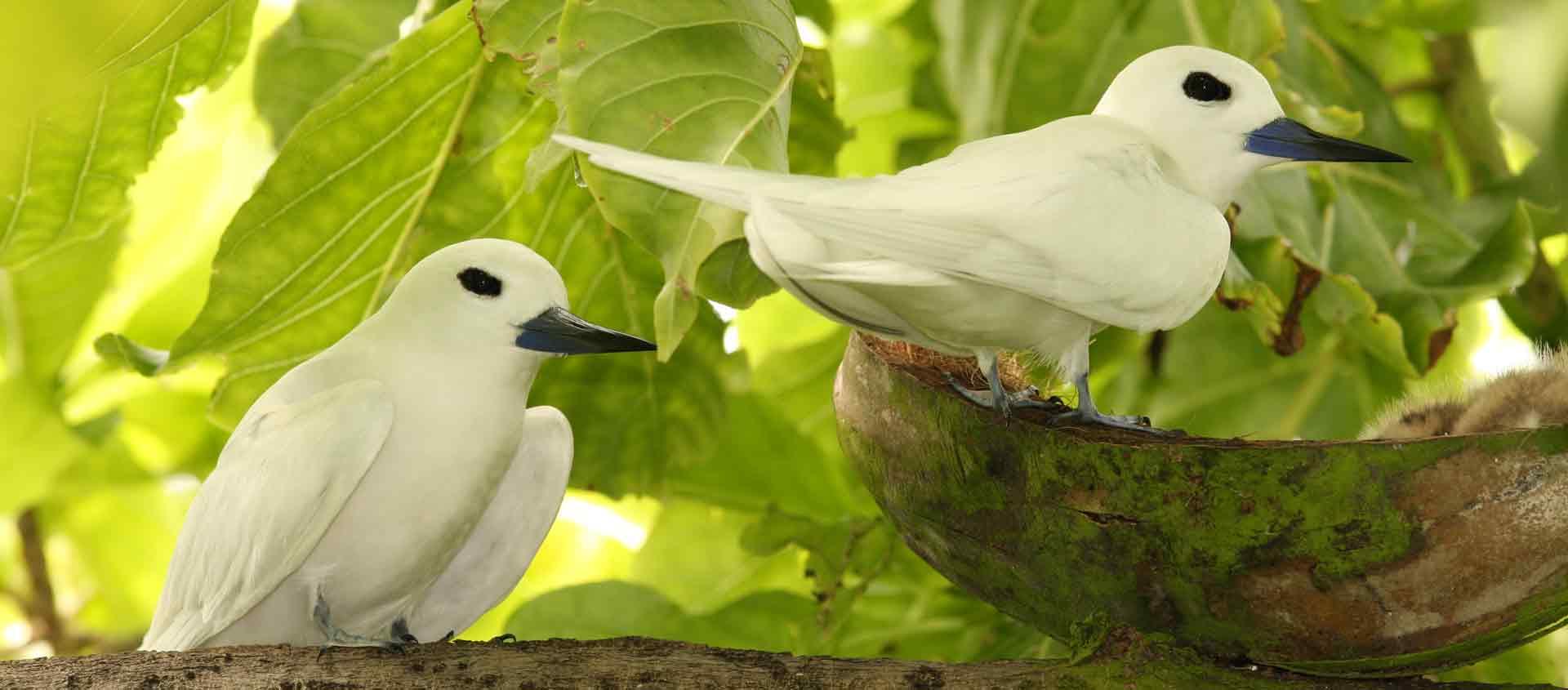 Seychelles Islands cruise image of Fairy Terns