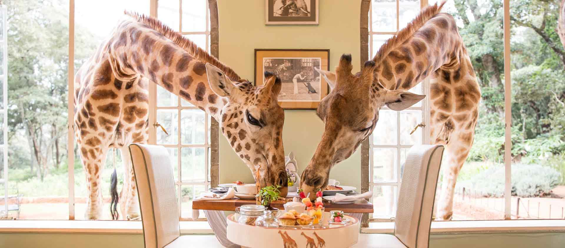 Kenya Private Wildlife Reserves image of giraffes at Giraffe Manor