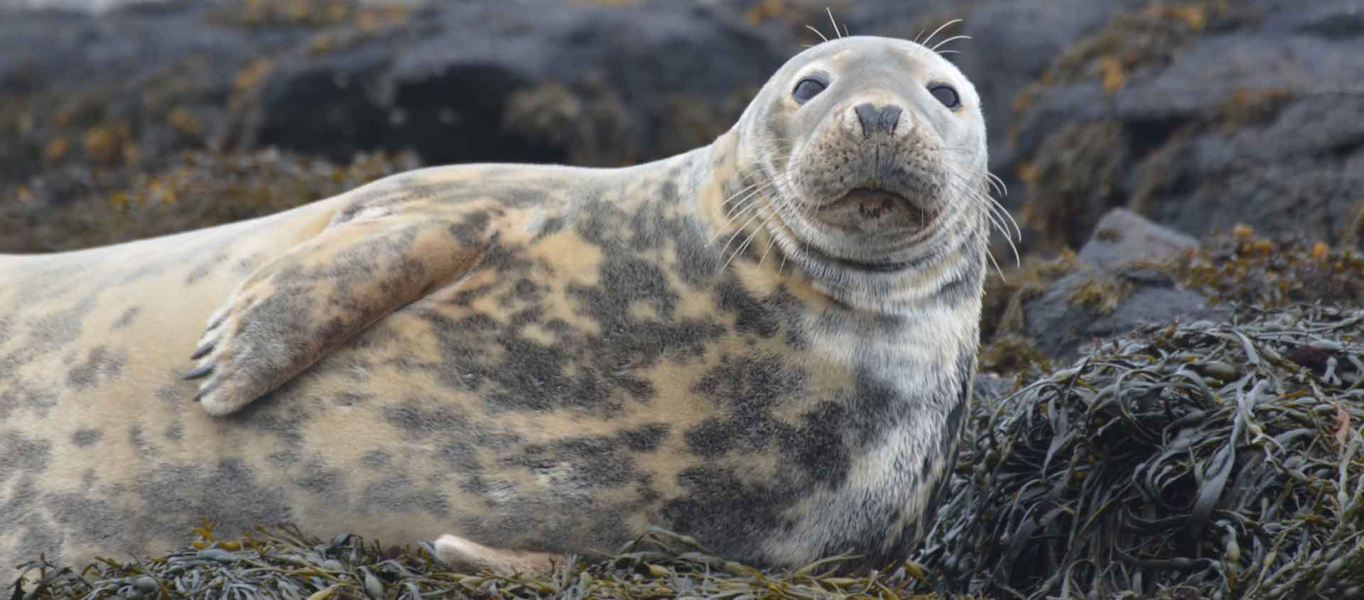 Cruise the British Isles and Norway image of a Grey Seal