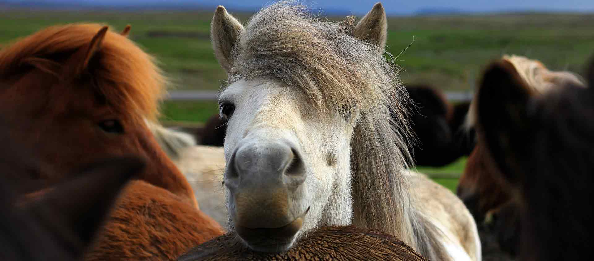 Iceland in Spring Tour picture of Icelandic horse