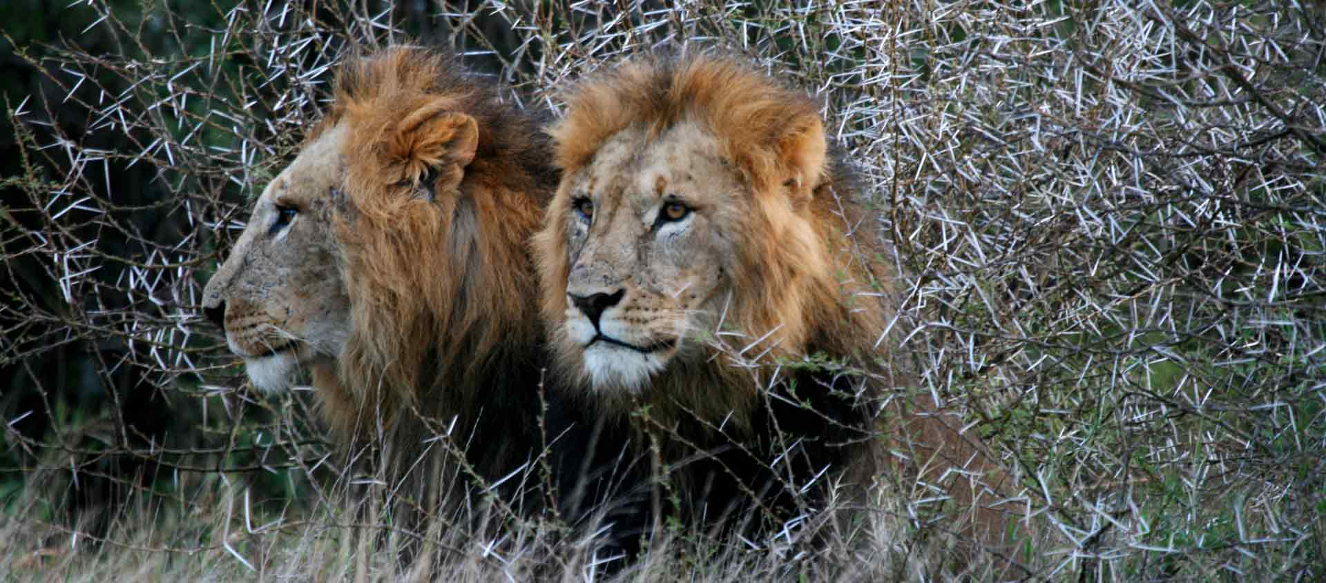 Kenya Private Wildlife Reserve photo of two Lions