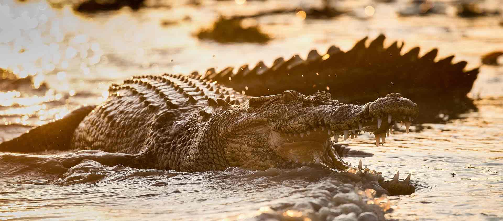 small ship cruises Western Australia slide showing Saltwater Crocodile
