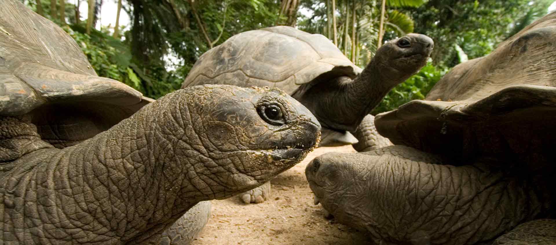 Seychelles Islands cruise image showing Aldabra Giant Tortoises