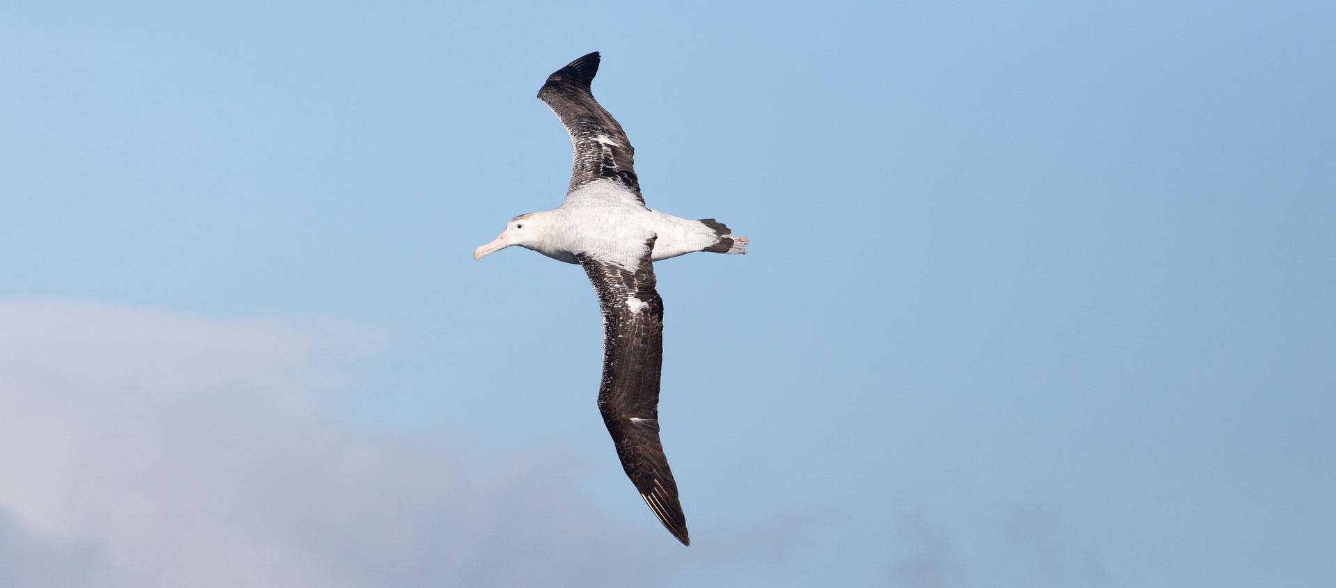 Antarctica Deep South image of Wandering Albatross