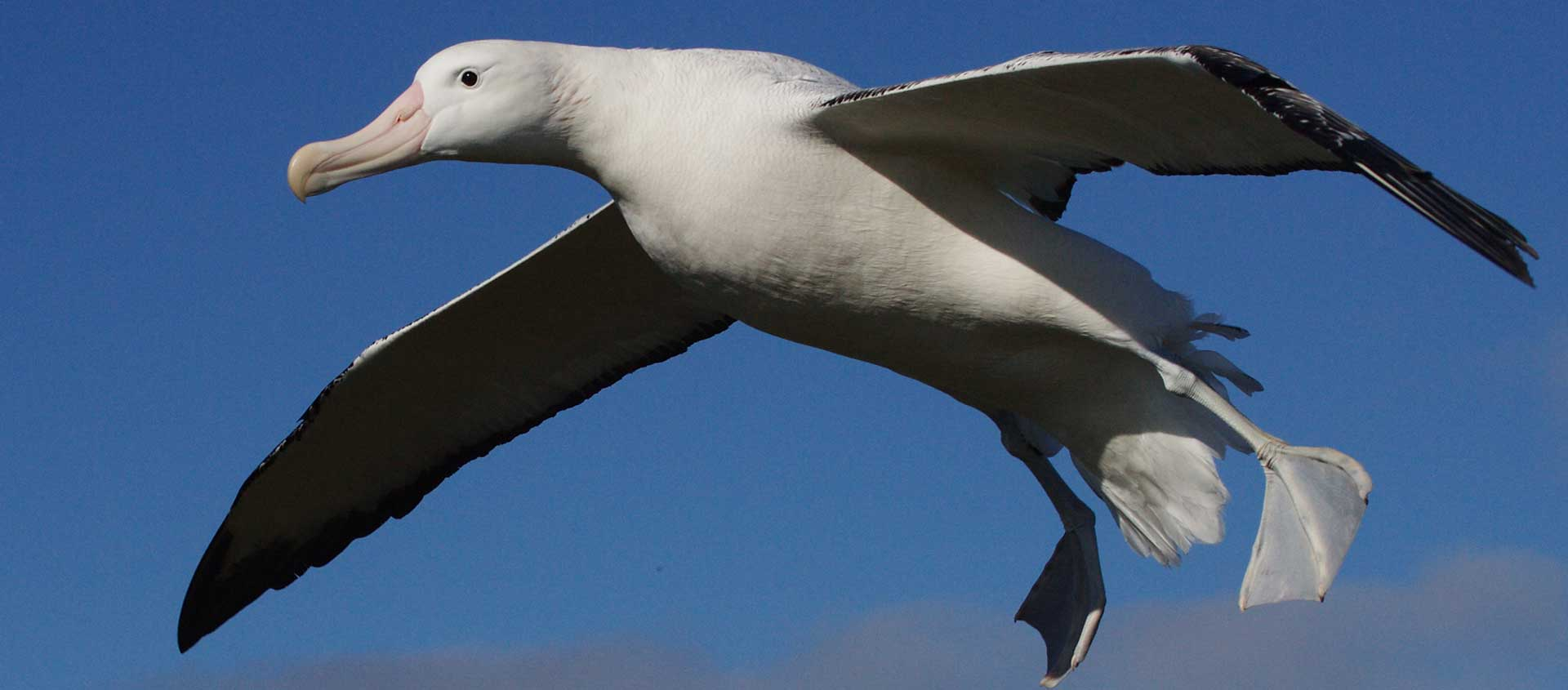 Emperor Penguin Cruise south of the Arctic Circle photo showing a Wandering Albatross