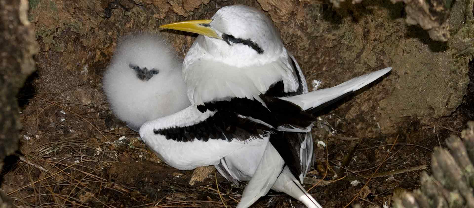 Seychelles Islands photo of White-tailed Tropicbird