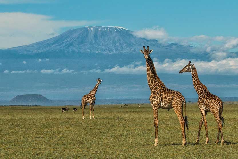 Kenya Private Wildlife Reserves image of giraffes with Mt Kilimanjaro